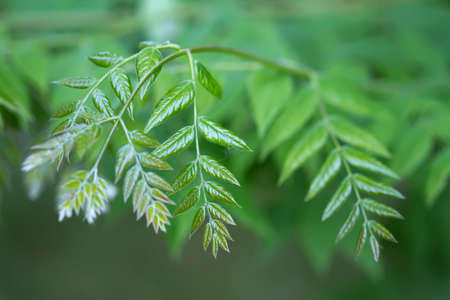 coffeetree: Branch of a Kentucky Coffeetree (lat. Gymnocladus dioicus)