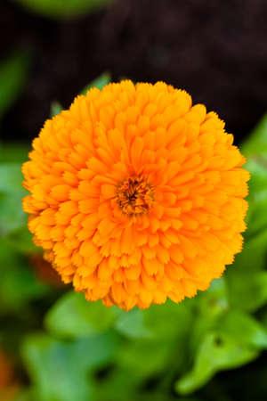 antispasmodic: Pot Marigold (lat. Calendula officinalis)