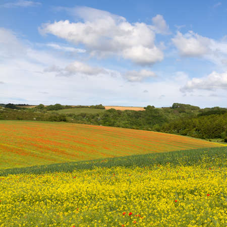 oilseed rape: Fields with blooming rapeseed and poppies, Cotswolds, UK