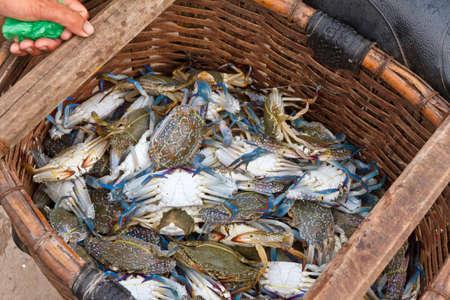 bateau de peche: Fra�chement captur�s crabes bleus (lat. Callinectes sapidus) dans le village de p�che Ham Ninh, Phu Quoc, Vietnam Banque d'images