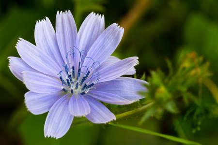 chicory flower: Common Chicory (lat. Cichorium intybus) Stock Photo
