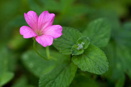 flavoursome: Endres cranesbill with leaves (lat. Geranium endressii) Stock Photo