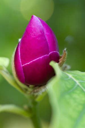 magnolia soulangeana: Bloom of a saucer magnolia (lat. Magnolia × soulangeana)