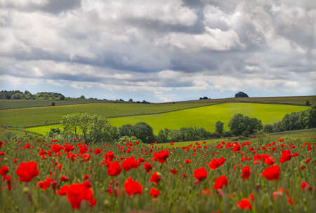 cotswold: Hills in with field of poppies near Leafield, Cotswolds, UK