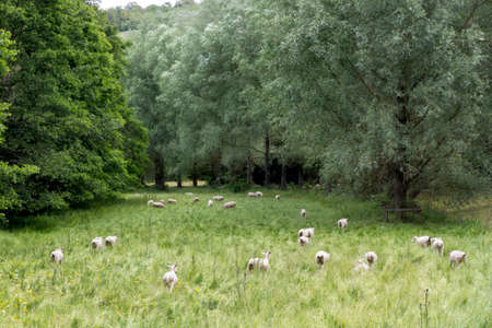 far off: Herd of sheep with green meadow, Cotswolds, UK Stock Photo
