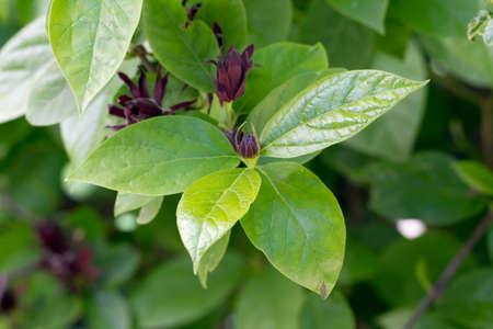 flavoursome: Sweetshrub (Calycanthus floridus)