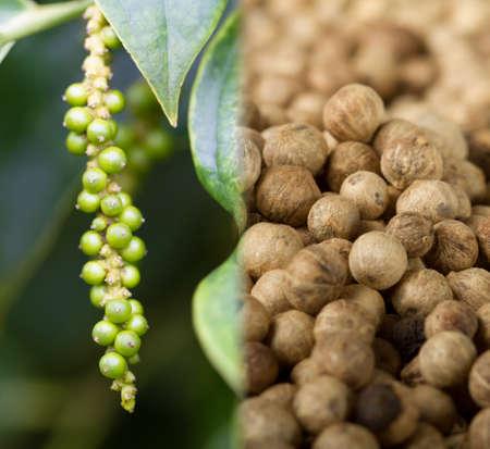 flavoursome: Collage of unripe pepper fruit (lat. Piper nigrum), and ripe pepper Stock Photo