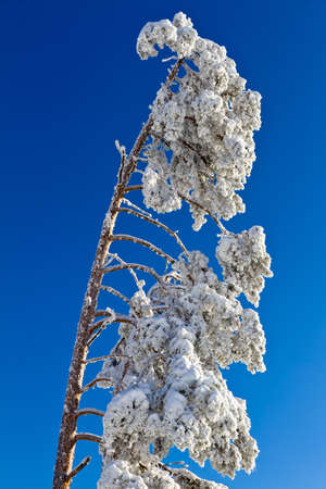 snowcapped: Snow-capped fir tree in Black Forest, Kaltenbronn, Germany Stock Photo