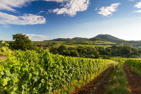 oenology: Vineyard and hilly landscape in Pfalz, Germany