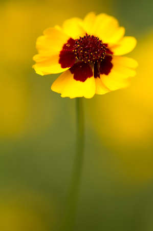 tickseed: Golden tickseed    lat  Coreopsis tinctoria