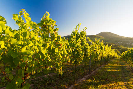 Vineyard and hilly landscape in Pfalz, Germany