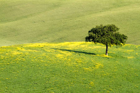 orcia: Lonley tree in field, Val d Orcia Stock Photo