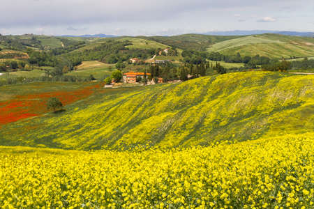 toskana: Tuscany landscape with blooming rapeseed near Siena, Italy Stock Photo