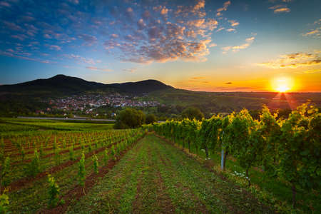 oenology: Vineyard with colorful sunrise in Pfalz, Germany Stock Photo