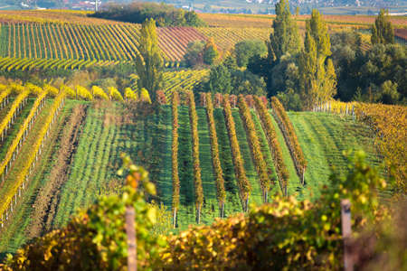 cropland: Vineyards at autumn, Pfalz, Germany
