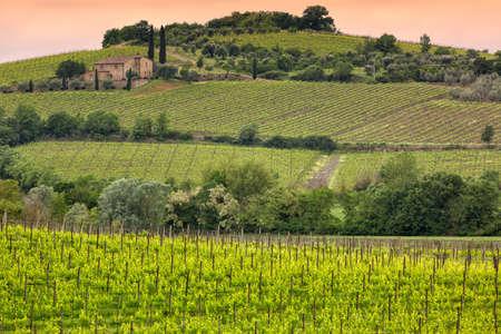 montalcino: Vineyard near Montalcino, Tuscany, Italy Stock Photo