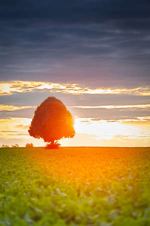 Tree at sunset with sugar-beets, Pfalz, Germany photo