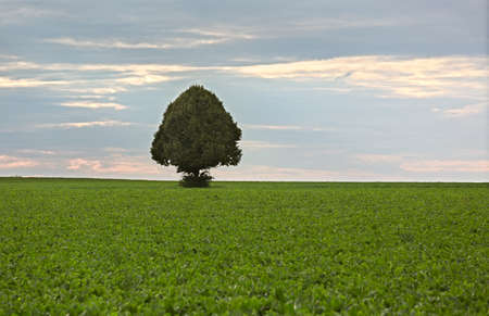 far off: Lonely tree in field of sugar beets, Rhine-Hesse, Germany
