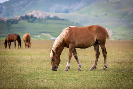 castelluccio di norcia: Horse at Piano Grande, Castelluccio di Norcia, Italy