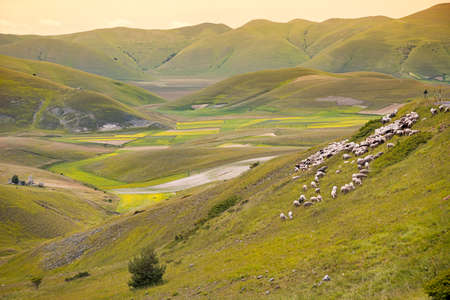 brands: Herd of sheep at Piano Grande, Umbria, Italy