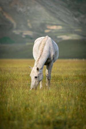 grande: Grazing white horse at Piano Grande, Umbria, Italy