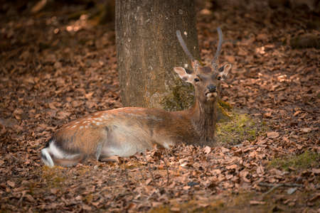 timid: Lying Fallow Deer at autumn time, Germany Stock Photo