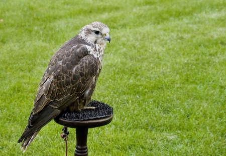 cherrug: Saker Falcon (Falco cherrug)