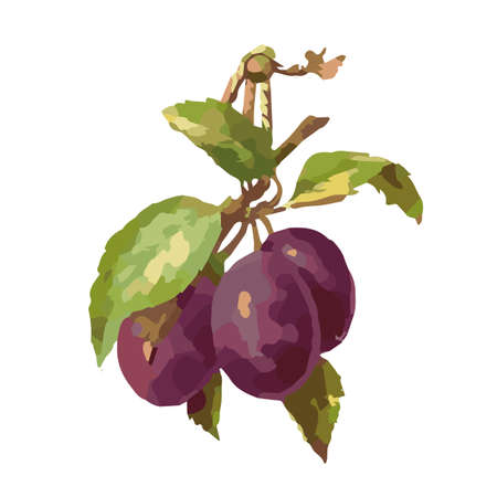 prune: Plum drawing watercolor isolated on white background for design.