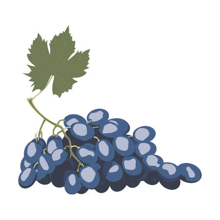 isabella: Blue wet Isabella grapes bunch isolated on white background as package design element