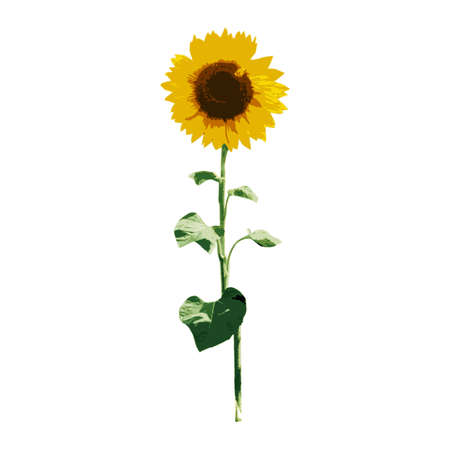 sunflower isolated: Sunflower isolated on white background. Vector eps10