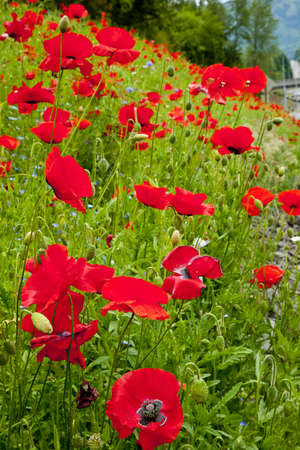 dream land: Poppy field. Red poppies on a background of green grass