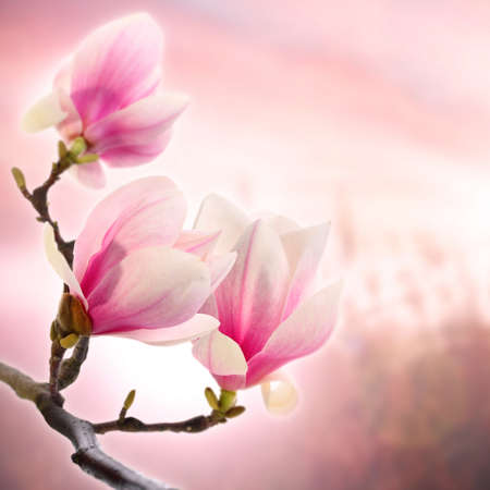 lay down: Magnolia branch with delicate flowers on a pink background