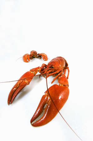 expensive food: Big Red lobster isolated on white background. Lobster isolated on a white background as fresh seafood or shellfish food concept as a complete red shell crustacean isolated on a white background.