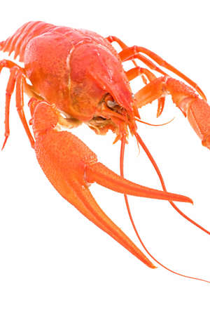 Big Red lobster isolated on white background. Lobster isolated on a white background as fresh seafood or shellfish food concept as a complete red shell crustacean isolated on a white background.