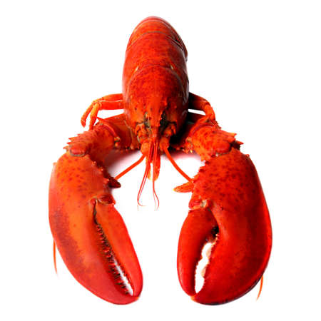 crustacean: Big Red lobster isolated on white background. Lobster isolated on a white background as fresh seafood or shellfish food concept as a complete red shell crustacean isolated on a white background.