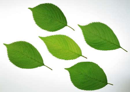 Tree leaves isolated on white background Stock Photo