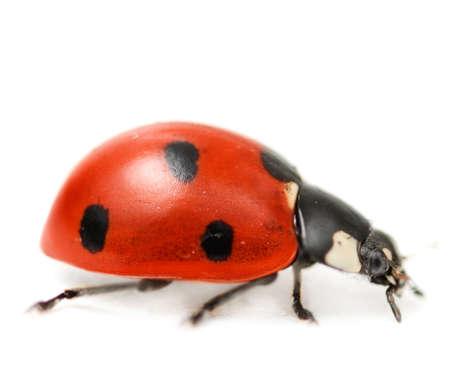 details: Ladybug isolated on white background