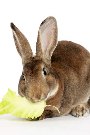 lapin: Brown cute rabbit isolated on white background