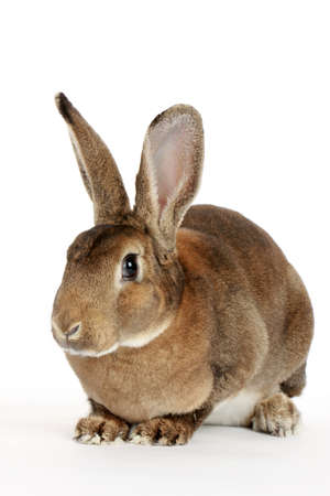 Brown cute rabbit isolated on white background
