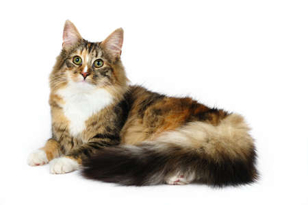 Beautiful fluffy cat. Isolated on a white background