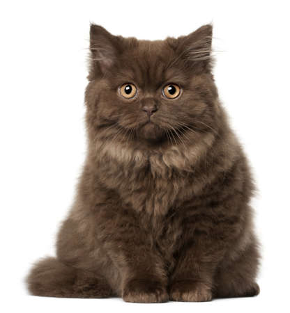 humor: Beautiful fluffy cat. Isolated on a white background