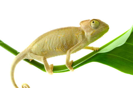 Chameleon on the tree. Isolated on a white background.