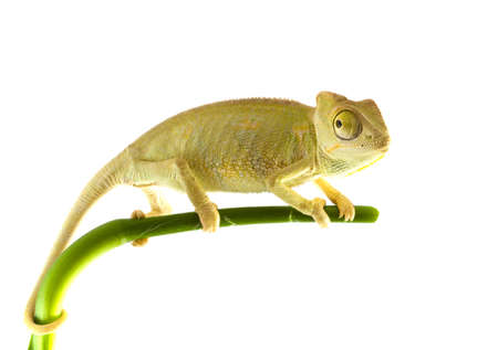 wildanimal: Chameleon on the tree. Isolated on a white background.