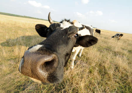 udders: Cow in spots with horns