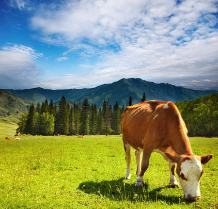 Cow in the meadow grass.
