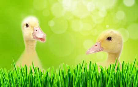 flappers: Aletas en Spring Meadow