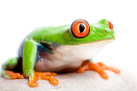 Beautiful colored tropical frog. Isolated on white background. Stock Photo