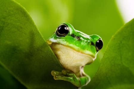 Beautiful colored tropical frog. On the sheet. On a green background.