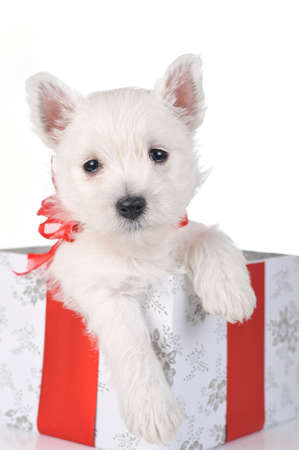 Puppy with gift box Stock Photo