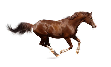 Galloping horse, Brown, isolated on white background. Stock Photo